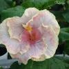 Moorea Hibiscus