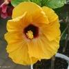 Tahitian Hibiscus